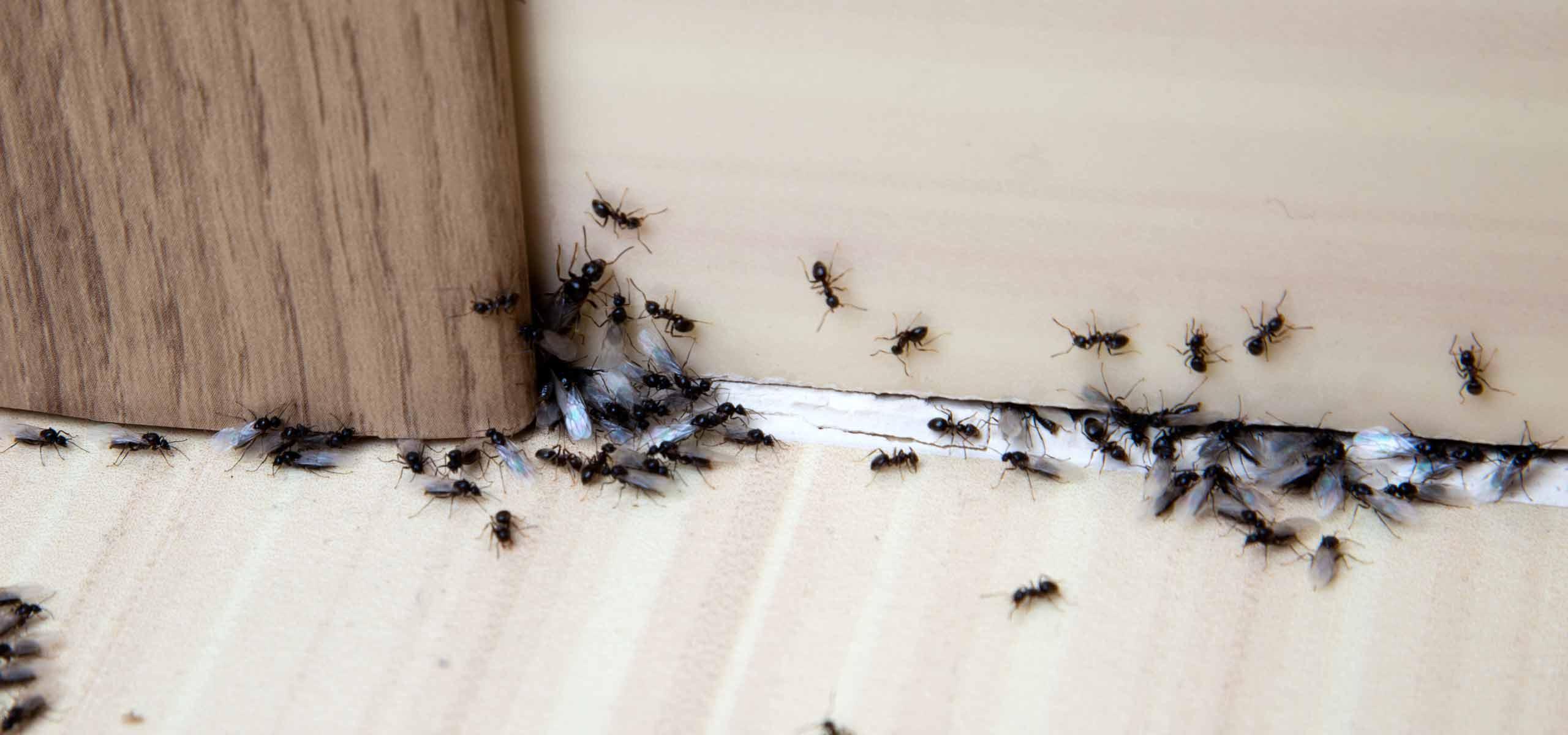 Ant Exterminator | Ant Pest Control