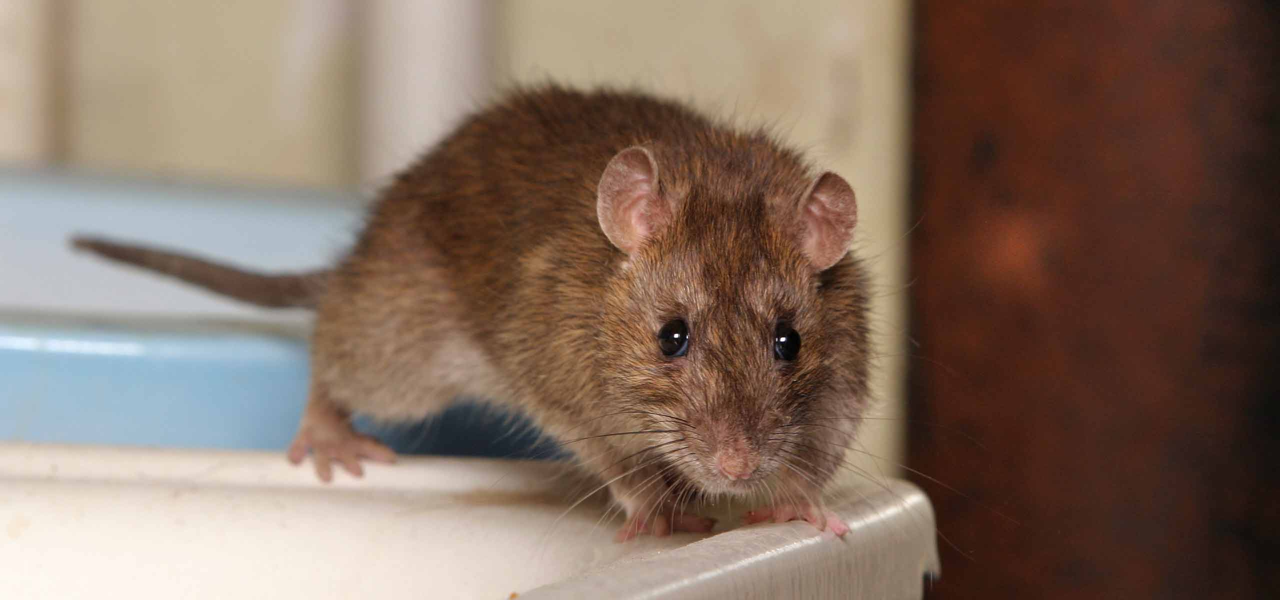 Rodent Exterminator | Rodent Control Company | Black Pest | Charlotte