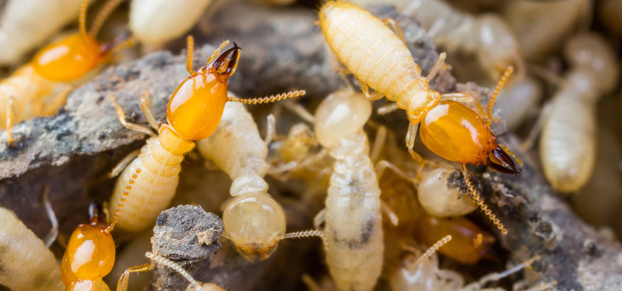 Termite Problem | Termite Expert | Black Pest Prevention | Charlotte