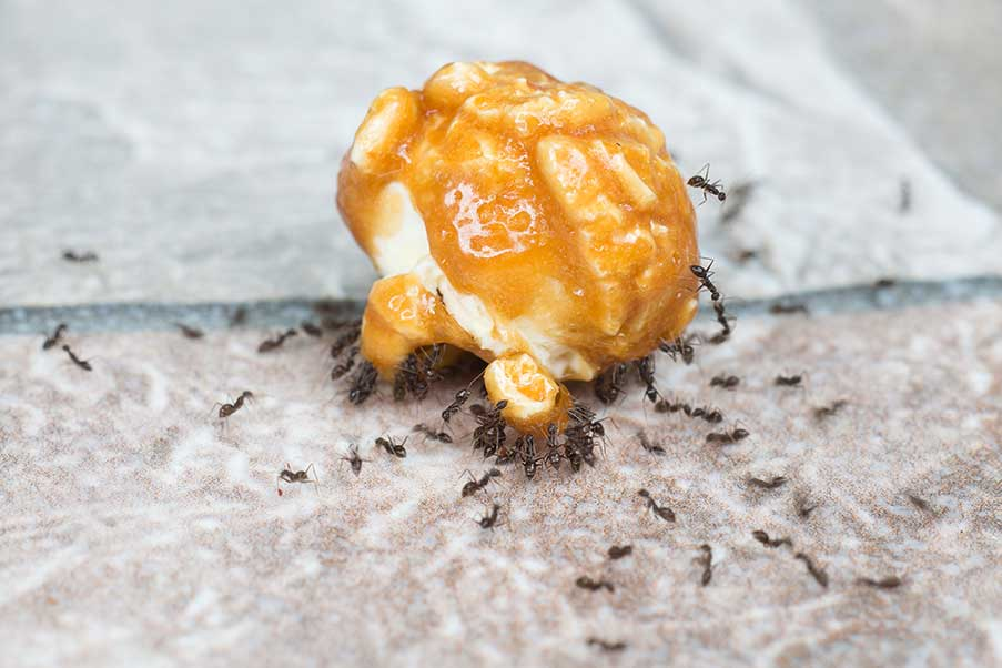 Sugar Ants Don't Make For Sweet Houseguests!